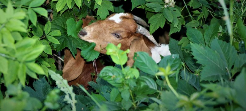 Voracious goats keep Wisconsin cemetery looking beautiful